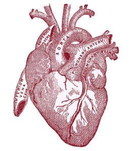 heart-vintageanatomy-graphicsfairy007red