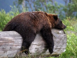 bear_sleeping